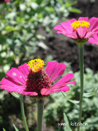 Gifu_flower