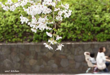 2011sakura_2_2