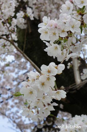 2011sakura_4