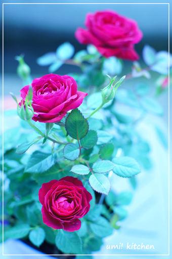 Mini_rose_2