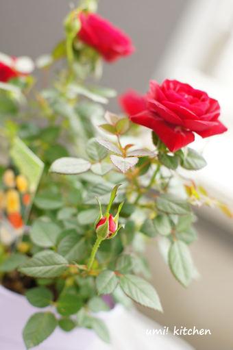 Mini_rose_3