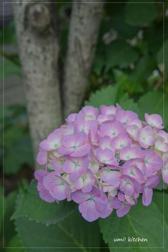 Ajisai_0618