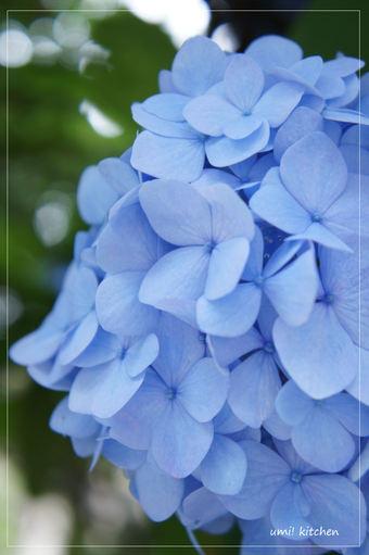 Ajisai_blue_0618_2