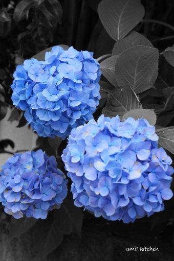 Ajisai_blue_2